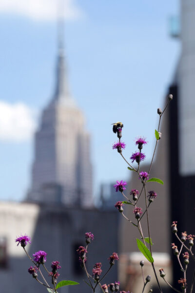 Empire King Bee, insect climbing on wild flower in front of Empire State Building, Manhattan, NYC, photo by Luci Westphal